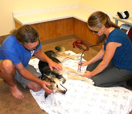 The dog Schoep gets treatments - Photo
