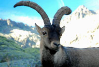 The Pyrenean Ibex Gone in extinct species