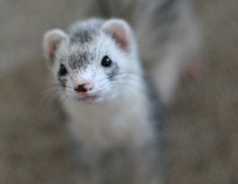 Photo of Cute Ferret