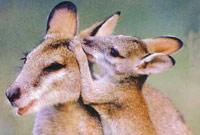 Wallabies Kangaroos Australia