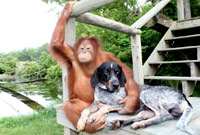 Suryia the Orangutan and Roscoe the Dog. The best friends (video)